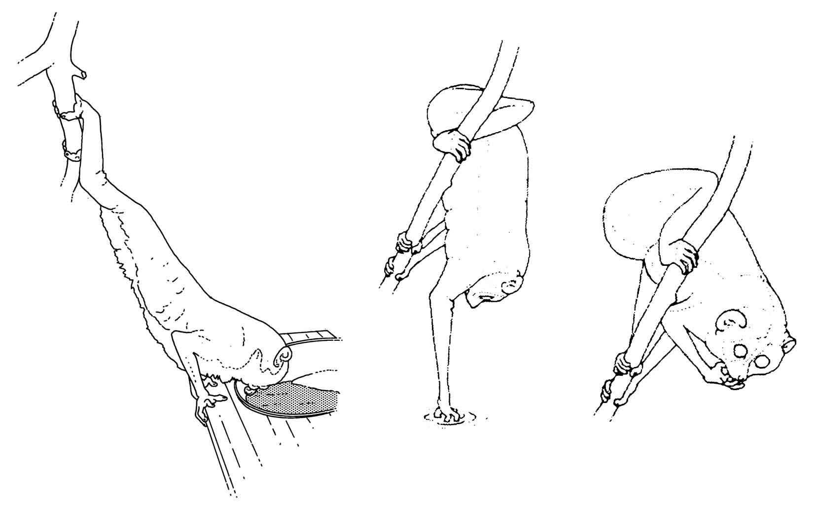 husbandry manual for asian lorisines