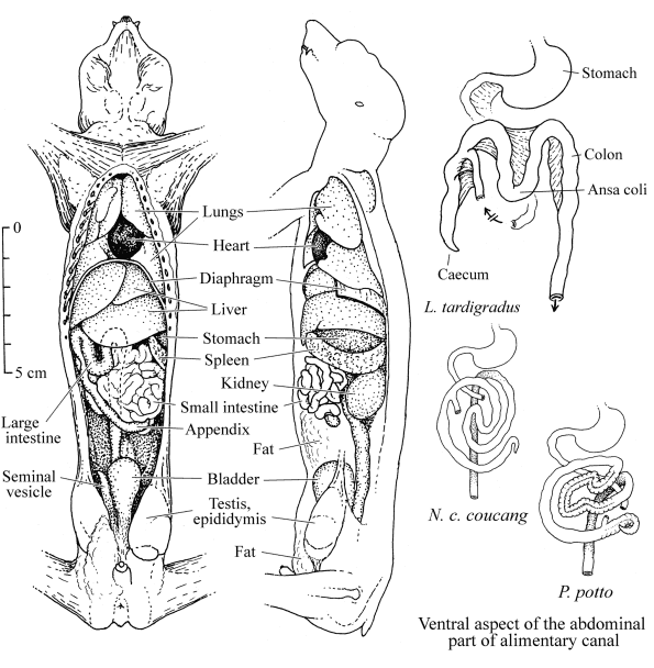 loris and potto anatomy  intestine