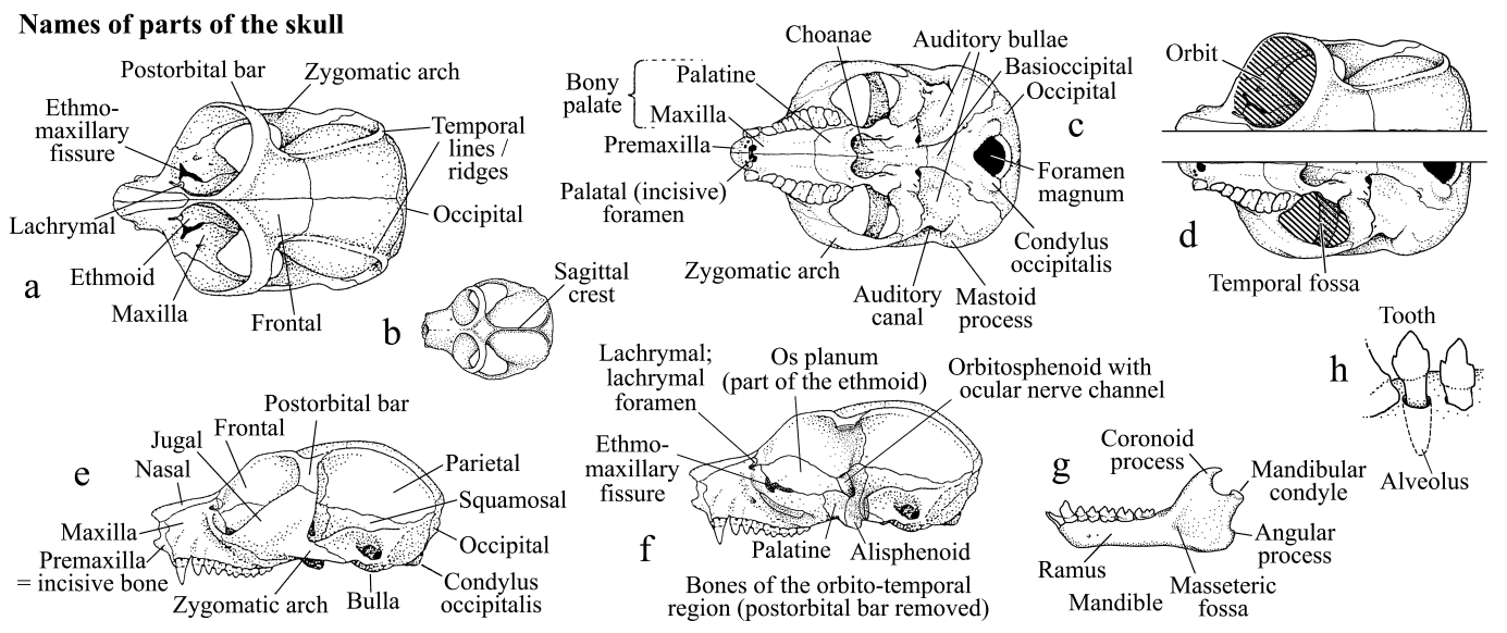 Skull And Dentition In Lorises And Pottos Measuring Standards