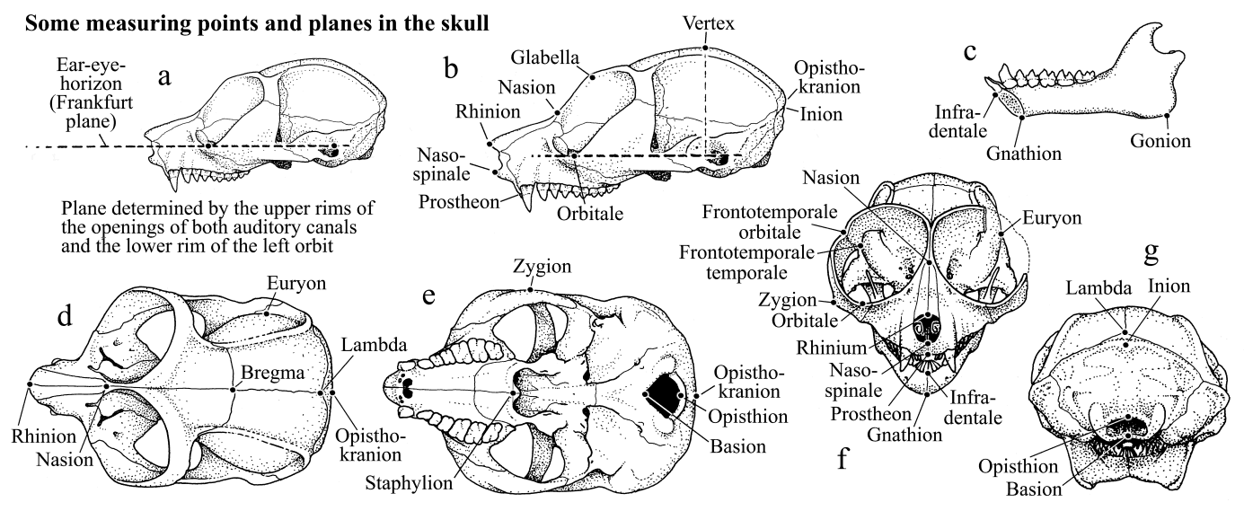 Skull and dentition in lorises and pottos - measuring standards