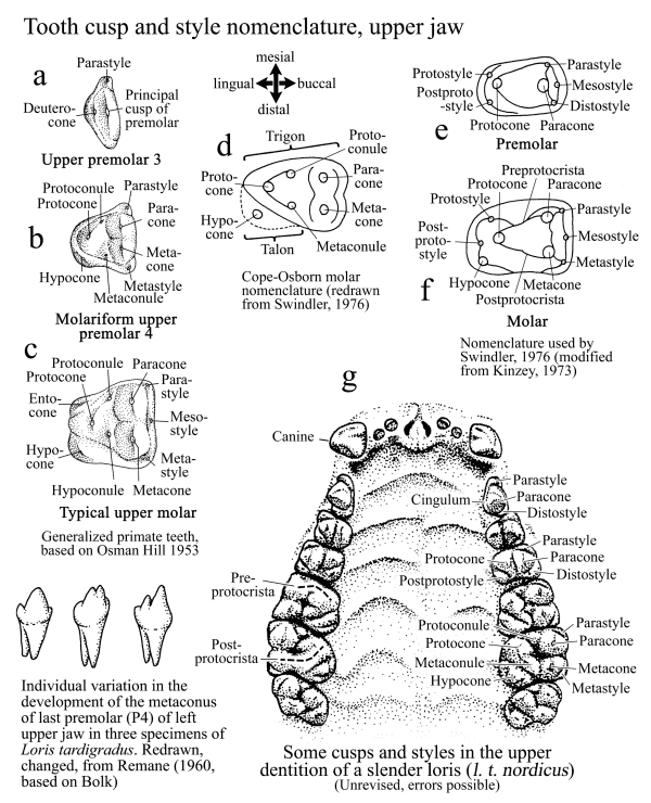 Names of teeth tooth parts diastema lengths in lorises and pottos ccuart Images